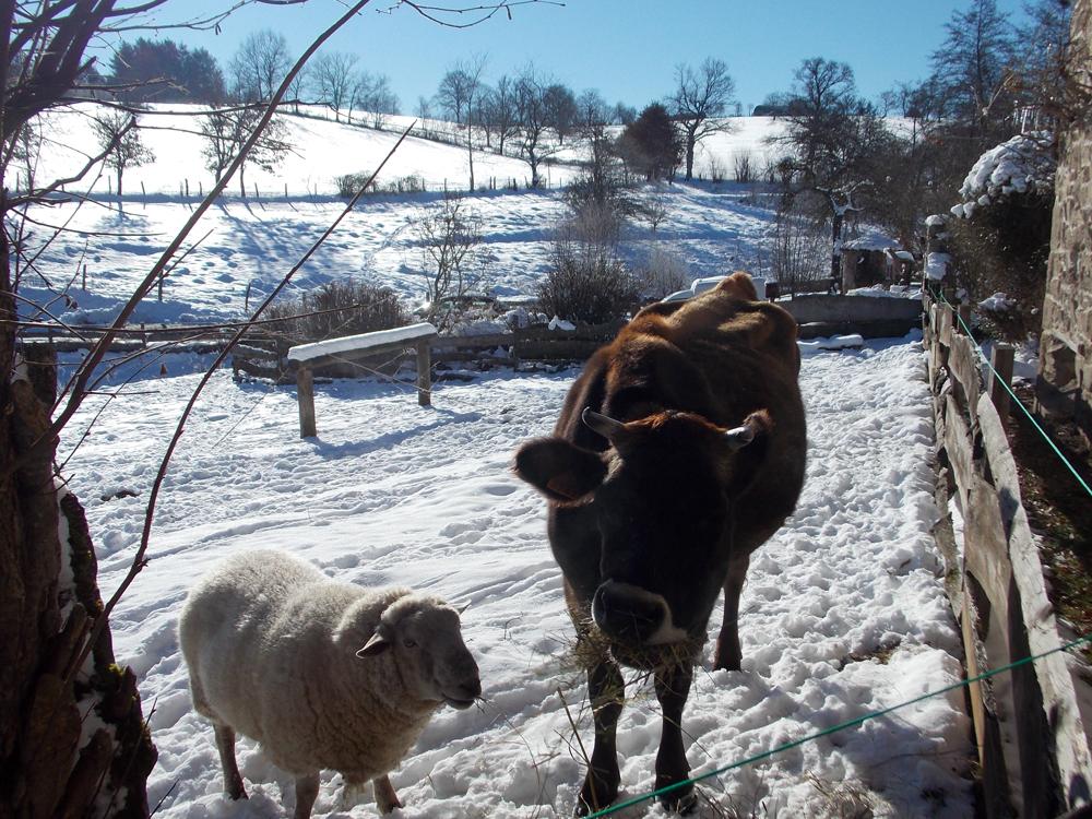 Gite Le Couturon - Marguerite notre vache