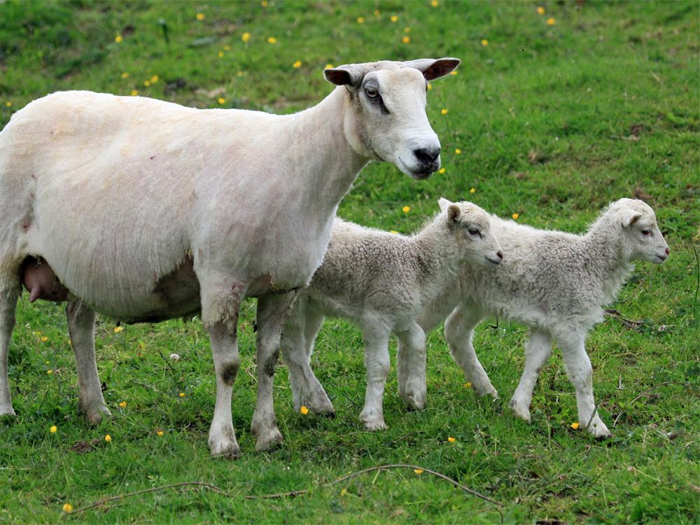 Gite Le Couturon - nos moutons